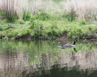 Nature Photography Print or Canvas, Canada Goose, Lake Art Print, Reflections, Water, Green Grasses - Gliding