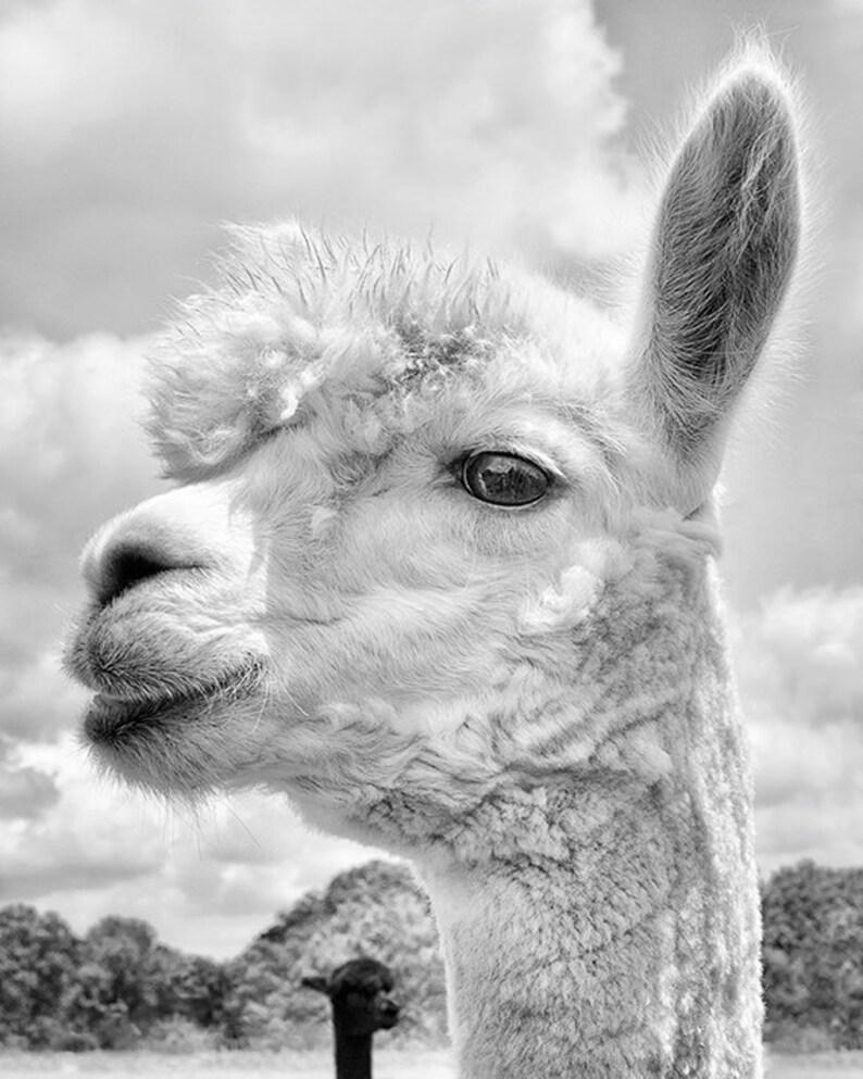 Animal Photography Alpaca Print or Canvas Black   White Art  bc1b032a839