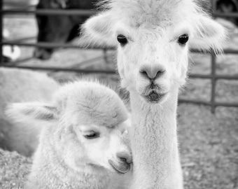 Animal Photography, Mother's Day, Print or Canvas, Alpaca Baby, Child, Animal Art Print, Black & White Photo, Nursery Decor  - Alpaca Love