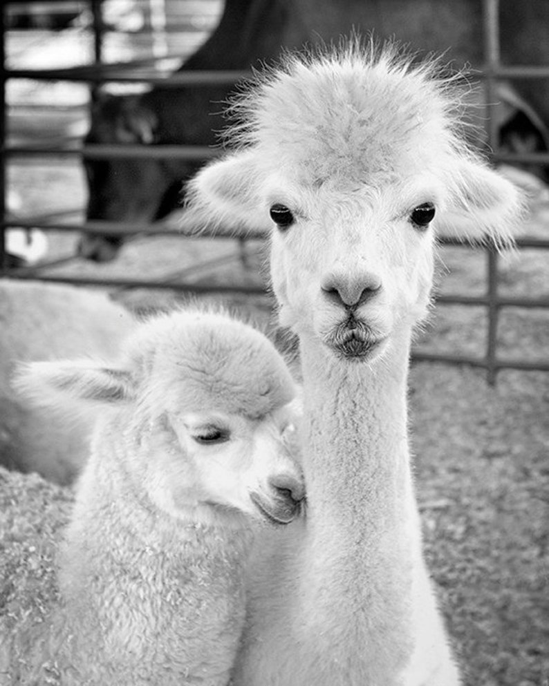 Animal Photography Print or Canvas Alpaca Baby Child image 0