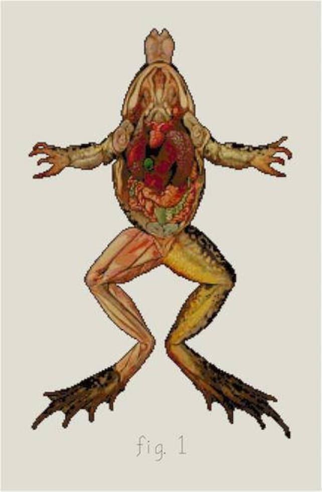 Frosch Anatomie ihrer Zerlegung Kreuzstich PDF Biologie | Etsy