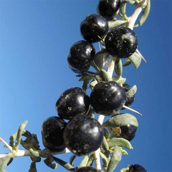 Black Goji Berry Seeds 100 Organic Himalayan Black Wolfberry Etsy
