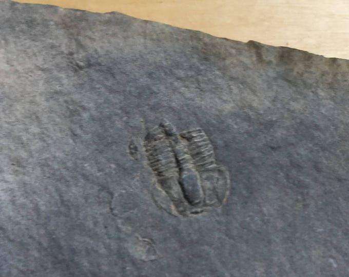 USA Cambrian Trilobite fossil in Matrix Small  No. 004
