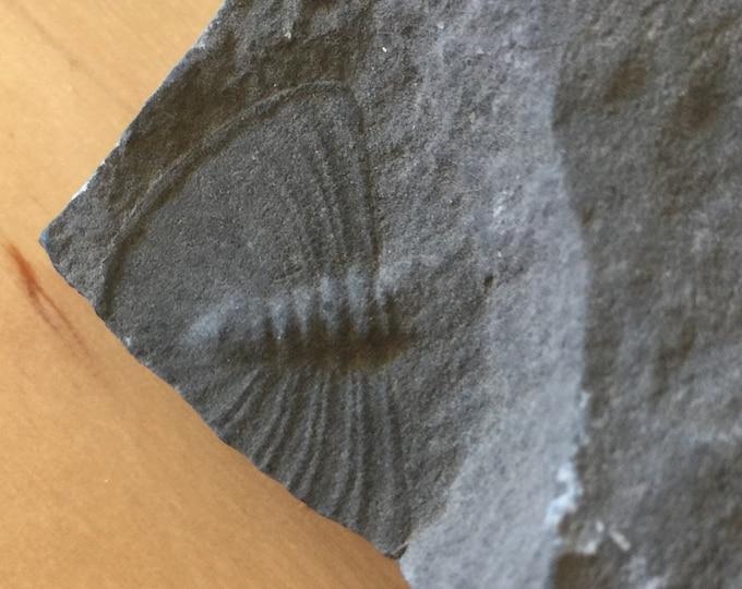 USA Cambrian Trilobite fossil lot in Matrix Medium  No. 004