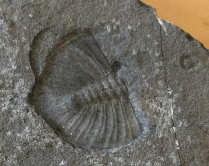 USA Cambrian Trilobite fossil in Matrix Large  No. 002