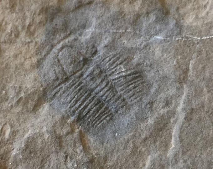 USA Cambrian Trilobite fossil in Matrix Large  No. 003