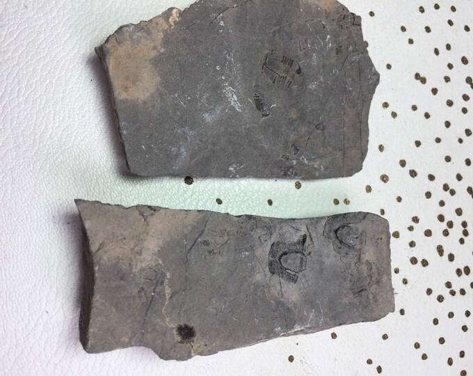 USA Cambrian Trilobite fossil lot in Matrix Small  No. 011