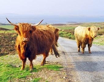 Highland Coos, Scottish Cows, Scotland Photography, Island of Skye, Cow Photograph, Fine Art, Nature Photo, Highland Cows, Wall Decor