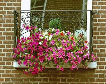 Dublin Flower Window Box Fine Art Photography, Irish Decor, Colorful Petunias, Wall Art, Flower Decor