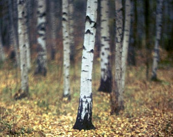 Finland, Photography Giclee Print, Limited Edition, Analog, Fall Foliage, Landscape, Small or Large scale Art, Forest, Scandinavia, Birch