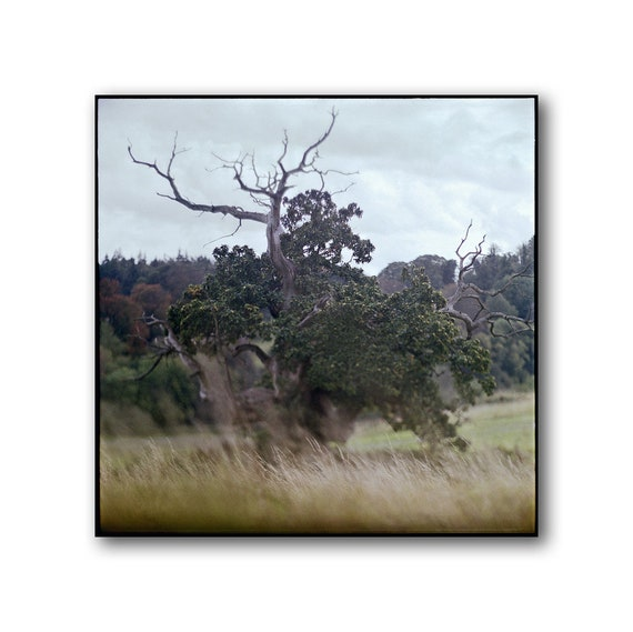 Old Tree at Slane Castle