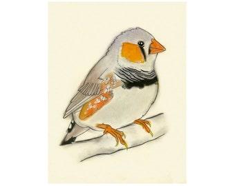 Zebra Finch Bird Artwork print -   Peter -  4 X 6 print - 4 for 3 SALE