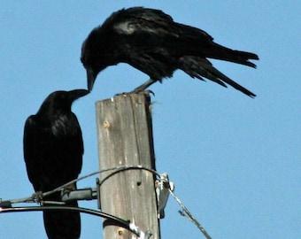 Kissing Crows New Mexico style fine art print big black Raven pair telephone pole perch