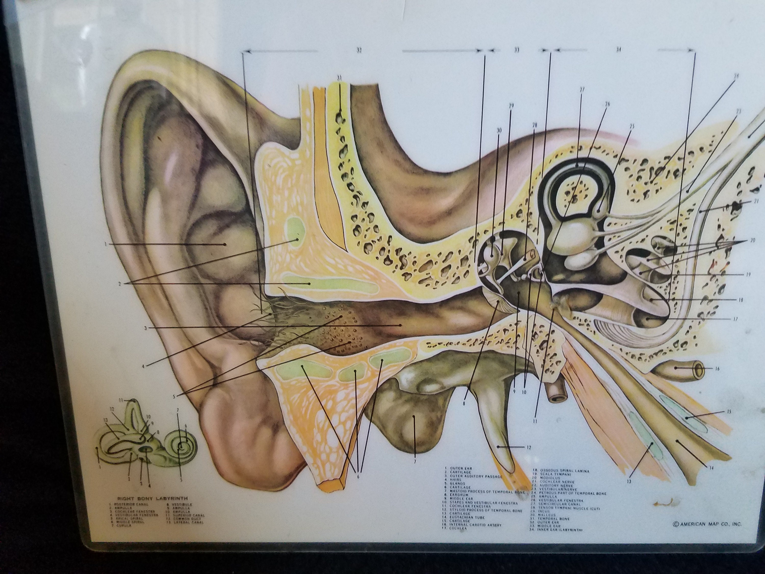 Inner and Outer Ear Anatomy Picture