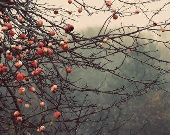 apples orchard landscape photography Fine Art Photograph canvas gallery wrap office decor home decor