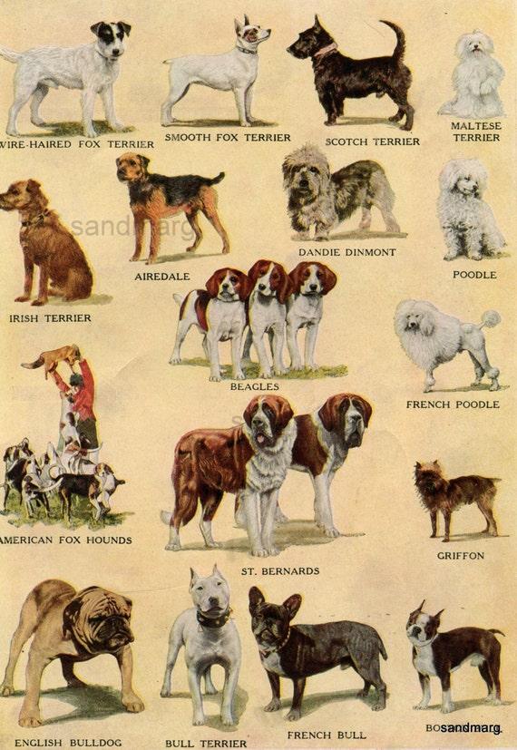 1918 Chart of 16 International Dog Breeds English Bull Terrier St Bernard  American Fox Hound