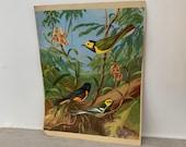 vintage artists bird print- Walter Alois Weber - restart warbler