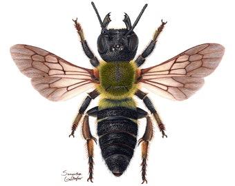"Sculptured Resin Bee (Megachile sculpturalis) 8"" x 10"" Print"