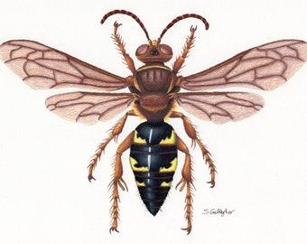 "Eastern Cicada Killer 8""x10"" Print"