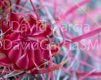 David Garcia SMD Photography - Flowering Cactus