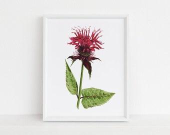Bee Balm - Michigan Botanical Watercolor Series Art Print