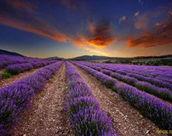 High Altitude Bulgarian Lavender Essential Oil