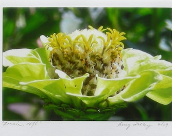 Zinnia, New York City, Photo Art Card