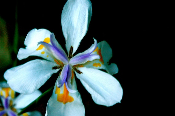 ES 76 DIETES grandiflora Fairy Iris Seeds