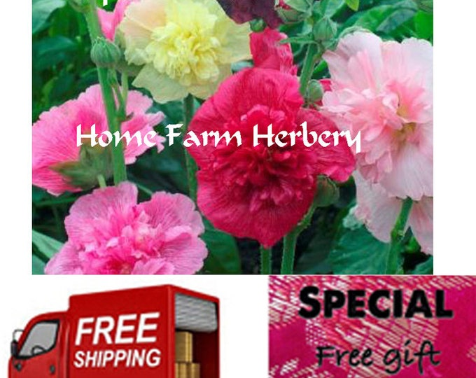 Hollyhock Heirloom Seeds Majorette Double Mixed for sale. Buy now as supply is limited