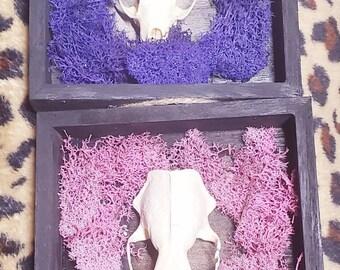 Skull taxidermy, taxidermy, skull, skull art, skull frame
