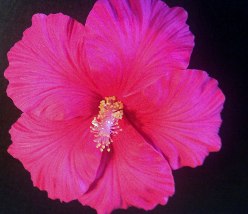 Hibiscus Hibiscus Flower Hibiscus Barrette Pink White Etsy