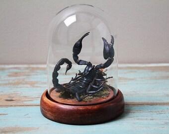 Black Forest Scorpion Heterometrus laoticus Real Preserved Taxidermy Arachnid
