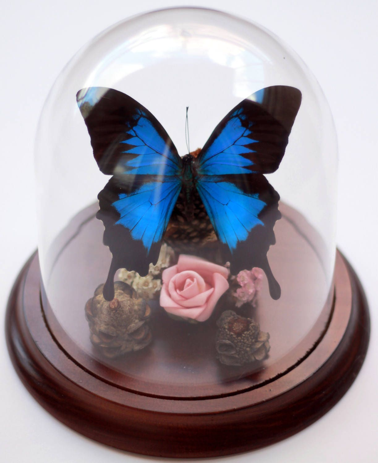 Dunk Island Australia: Papilio Ulysses In A Decorative Dome Dunk Island Butterfly