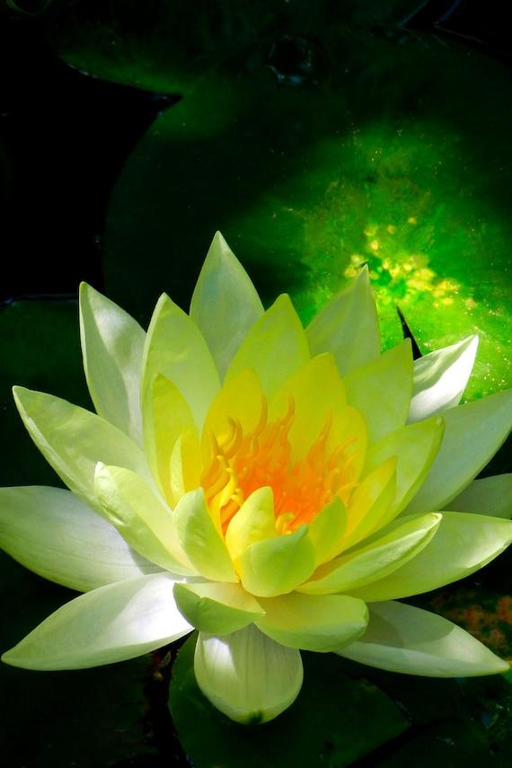 Golden Lotus Fine Art Photo Greeting Card Yellow Lotus Etsy