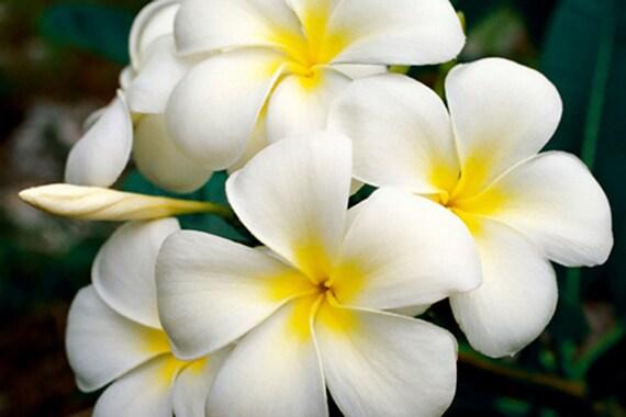 White Plumeria Hawaiian Lei Flower Fine Art Photography Canvas Etsy