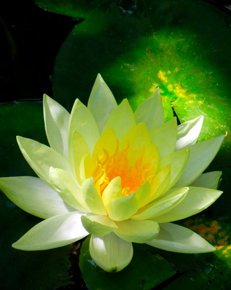 Yellow Lotus Flower Fine Art Photography Water Lily In Pond Etsy