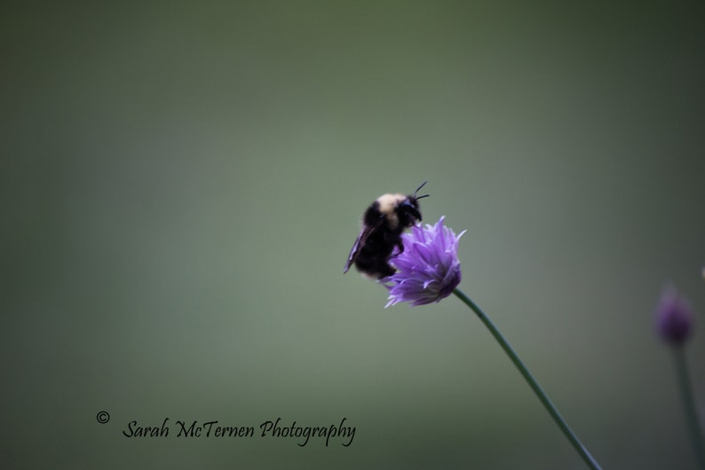 Spring time art bumble bee on purple chive flower green image 0