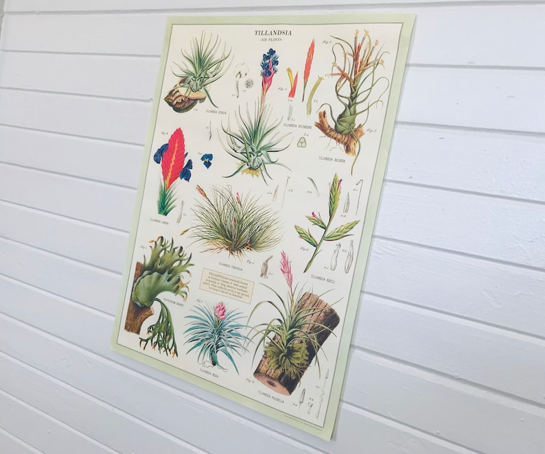 Vintage Style Tillandsia Air Plant Decorative Wrap and Craft image 0