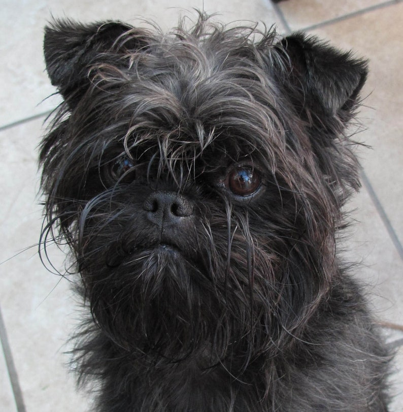 Actual picture is 8x10 on White background. FACE on 16 square Fabric Panel for Quilting and Sewing AFFENPINSCHER Black