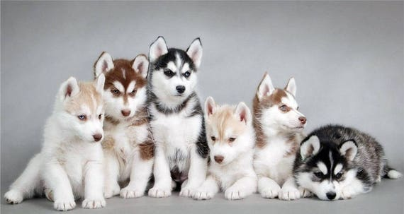 Fabric Siberian Husky Puppies To Sew And Or Quilt One 16 Etsy