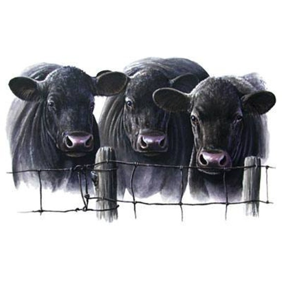 Cattle Three Black Angus Cows On One 16 Inch Square