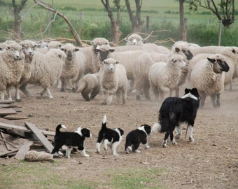 "BORDER COLLIE w Sheep ""Herding Class"" on One 16 inch Fabric Panel to Sew. Picture is approx 8"" x 10"" on white background.."