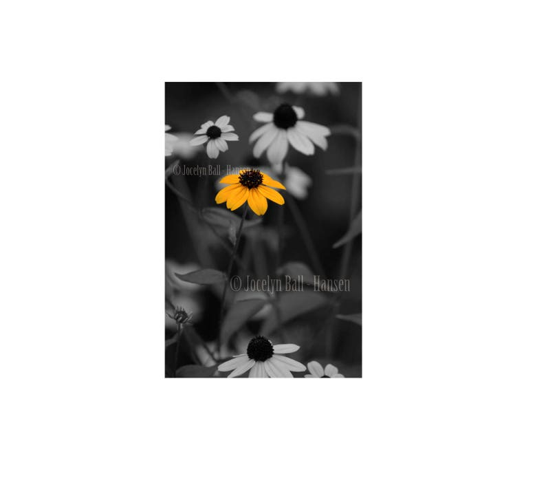 372295c3bf2e Yellow Black Eyed Susan Flower Photo Print Isolated Colour