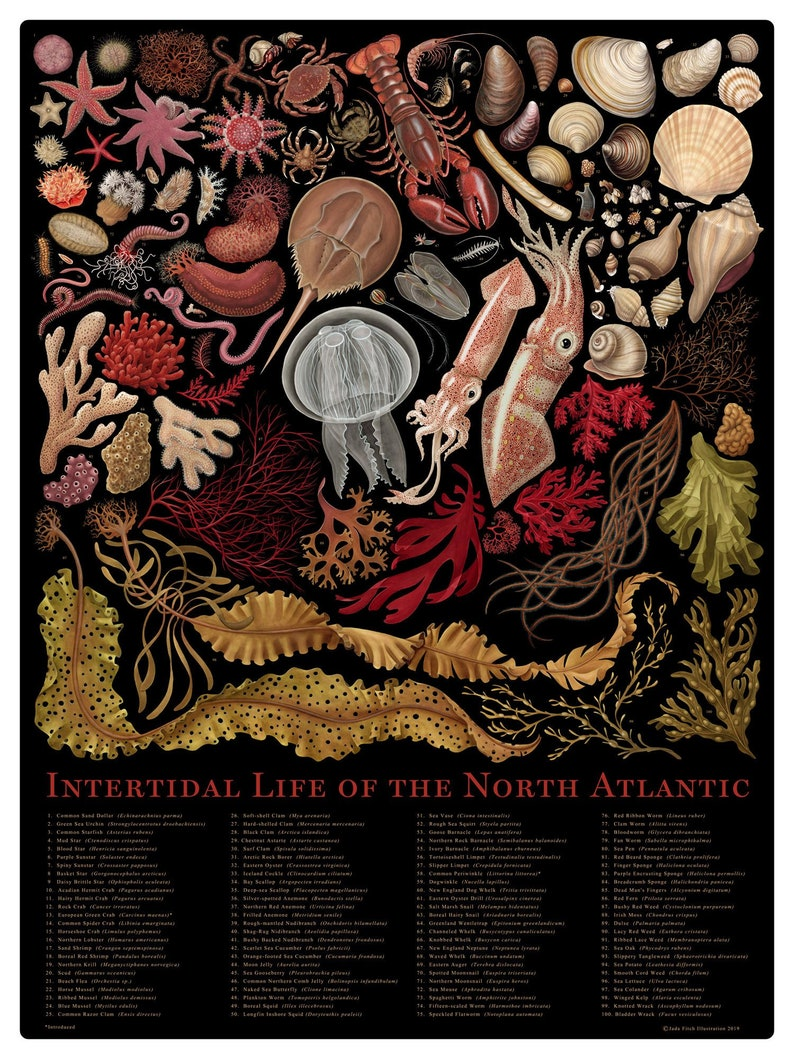 Intertidal Life of the North Atlantic signed poster image 0