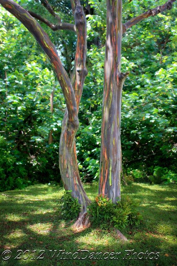 road to hana rainbow eucalyptus trees maui hawaii tree etsy