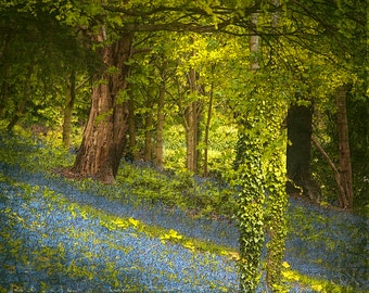 In the Bluebell Woods 5, Spring-Time in the English Woodland, Green and Blue, Signed Fine Art Print, Home Decor Wall Art