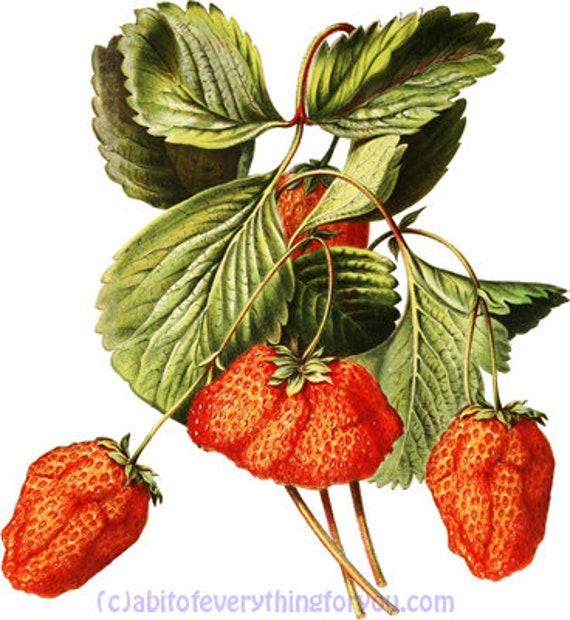 strawberries fruit botanical art printable download digital image graphics downloadable vintage strawberry garden nature artwork