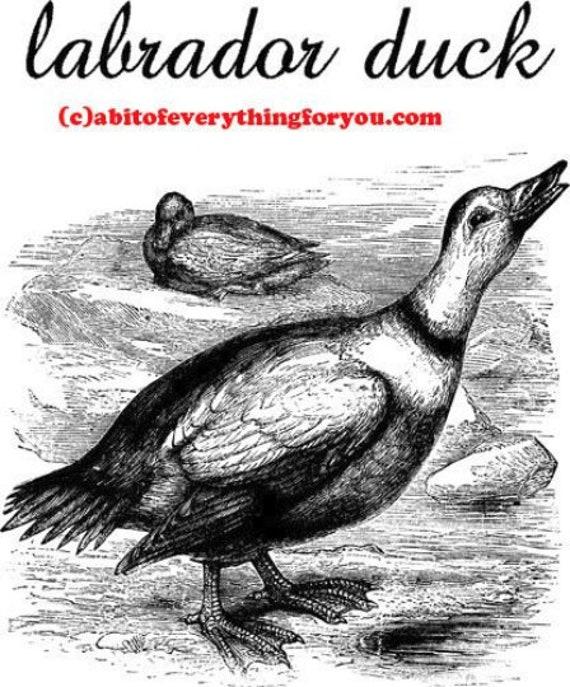 labrador duck bird vintage illustration printable art print animal prints Digital Downloadable art Image graphics black and white wall art