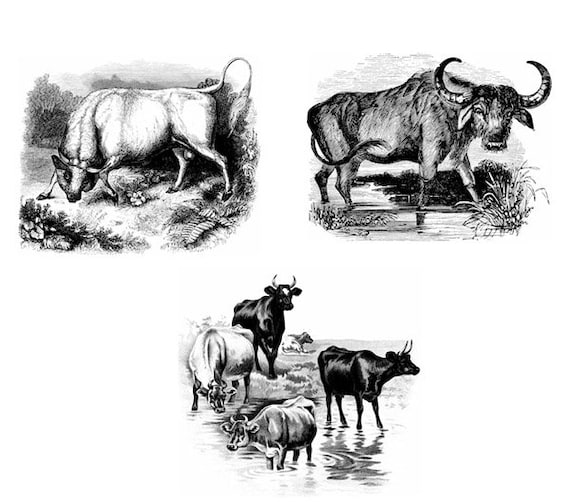 bull cows buffalo clipart png jpg 3 separate image downloads Digital printable animal art Image graphics farm ranch digital stamp