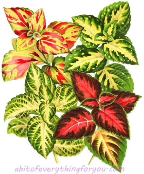 Coleus plants red yellow leaves garden botanical art download digital leaf image graphics printable downloadable nature artwork